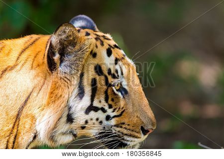 Tiger in a national park in India. These national treasures are now being protected, but due to urban growth they will never be able to roam India as they used to.