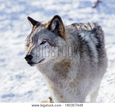 The gray wolf or grey wolf also known as the timber wolf, or western wolf, is a canine native to the wilderness and remote areas of North America and Eurasia. It is the largest member of its family. poster