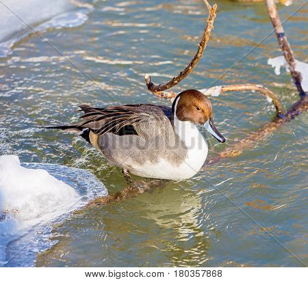 The pintail or northern pintail is a duck with wide geographic distribution that breeds in the northern areas of Europe, Asia and North America. It is migratory and winters south of its breeding range