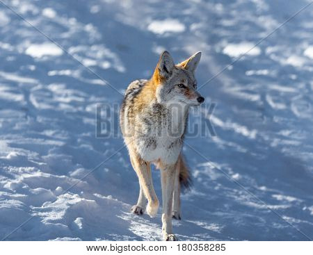 The coyote is a canid native to North America. It is smaller than its close relative, the gray wolf, and slightly smaller than its other close relatives, the eastern and the red wolf.