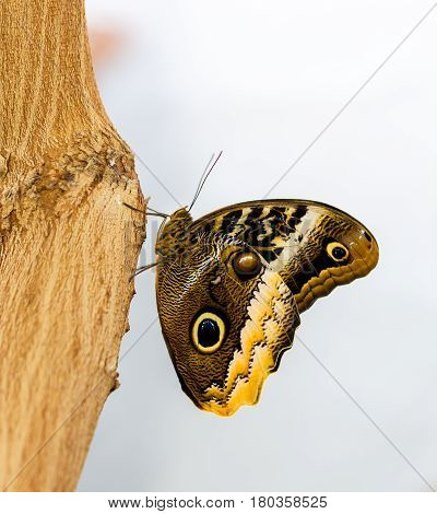 The owl butterflies, the genus Caligo, are known for their huge eyespots, which resemble owls' eyes. They are found in the rainforests and secondary forests of Mexico, Central, and South America.
