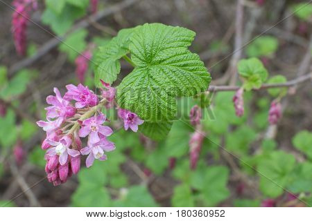 Closeup beautiful pink bloom and green leaves of Ribes sanguineum red flowering currant bush