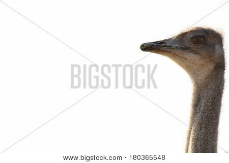 Head of the ostrich on white background isolated