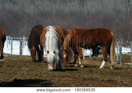group of horses  eating hay grazing  trees fence post
