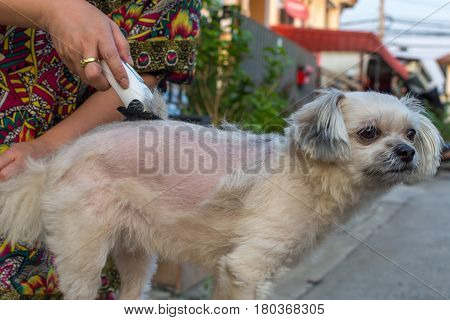 Grooming And Haircut Dog Fur By Human With Clipper