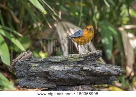 Bird (orange-headed Thrush) On A Timber