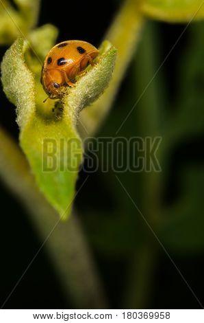 Ladybug sitting on the green leaf. Closeup of ladybug