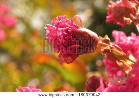 Pink Crepe Myrtle Crape pink ruffled petals buds