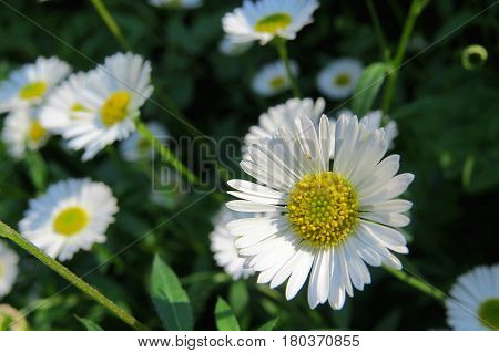 White Seaside daisies daisy flowers growing in a garden