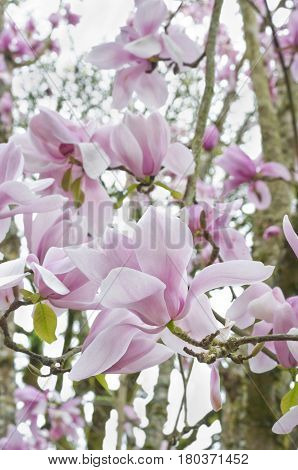 Pink Magnolia flower blossoms on tree branch