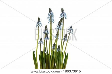 Bluebells flower (Grape Hyacinth Muscari armeniacum) on a white background