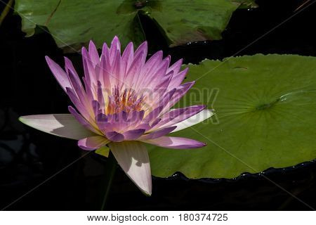 Closeup of pinkish-purple waterlily and leaves in sunlight
