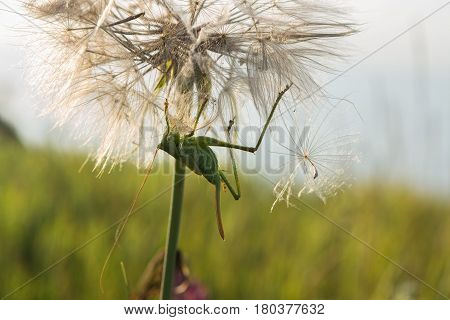 Green locusts are sitting on a large dandelion in the Crimea