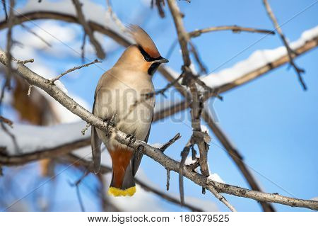Waxwing At The Tree