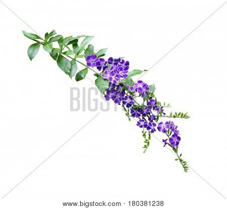 Duranta erecta purple flower with white rim on branch isolated over white background