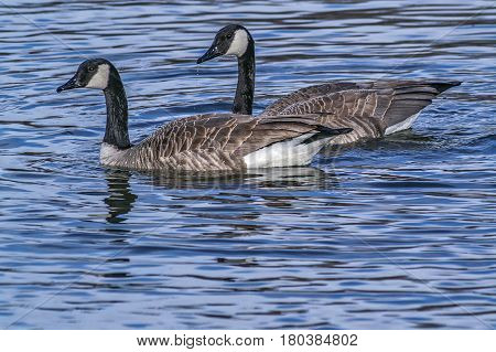 A pair of Canada Geese swimming in a pond