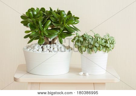 houseplant Crassula ovata jade plant money tree and fittonia in white pots
