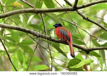 beautiful Scarlet-rumped trogon bird at the forest