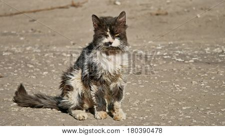 Old sick homeless cat shaggy outdoor the pet