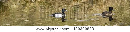 Tufted Duck-Waterbird of Europe prefer living in lakes