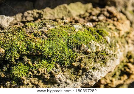 Close-up of green moss on old stone texture