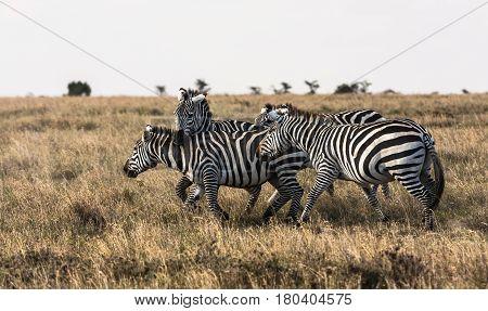 Sociable zebras. Zebras are talking. Masai Mara, Kenya