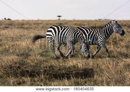 Zebras in the savannah. Sociable zebras. Masai Mara, Kenya