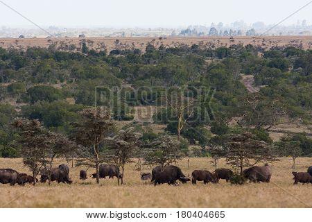 Big herds of Africa. Landscape with buffalo. Nakuru, Kenya.