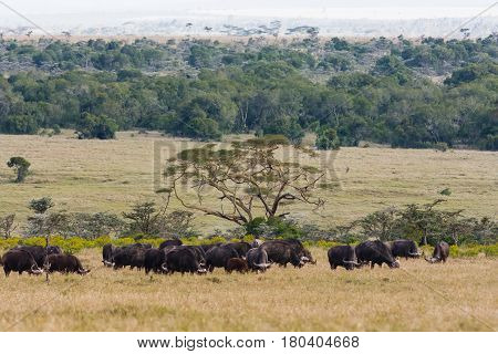 Panorama of savanna with buffalos. Big herds of Africa. Landscape with buffalo. Nakuru, Kenya.