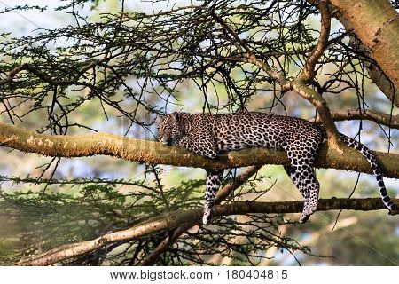 Portrait of a leopard resting on a tree. Nakuru, Kenya
