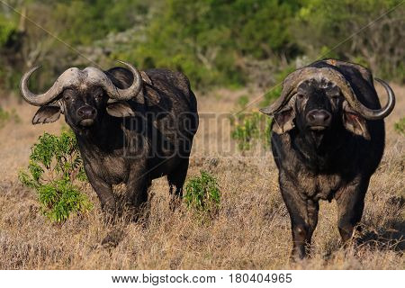 Landscape with two buffalo. Nakuru, Kenya. Africa