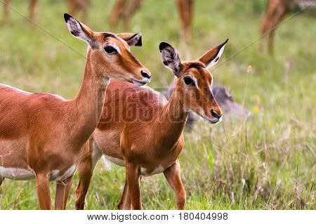 A pair of impalas. Nakuru lake, Kenya