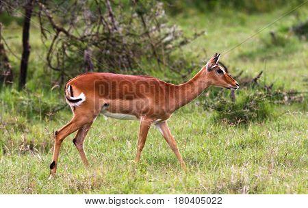 Impala on the lawn in the savannah. Kenya