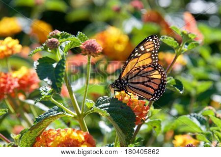 One Monarch butterfly perched on yellow and orange lantana flowers drinking nectar. The monarch butterfly may be the most familiar North American butterfly and is an iconic pollinator species.