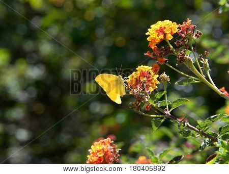 Colias croceus or clouded yellow butterfly perched on orange and yellow lantana flowers drinking nectar one wing ripped and missing.