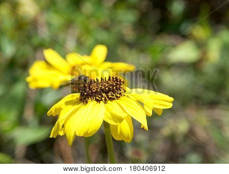 One Honeybee collecting pollen from black eyed susan flower. Beekeepers in Western countries have been reporting slow decline in honey bees for many years
