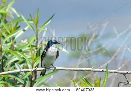 One male tree swallow Tachycineta bicolor. perched on a branch bushes and blue sky in background.