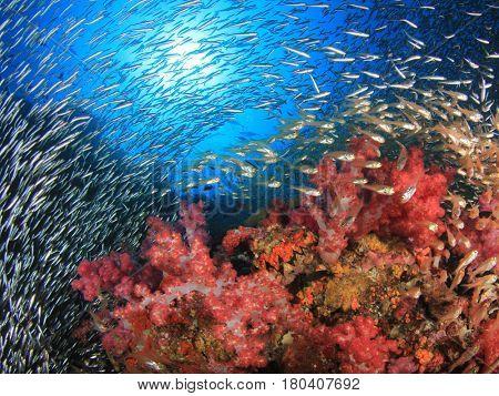Coral reef scene. Glassfish over soft corals