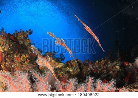 Ornate Ghost Pipefish fish on coral reef