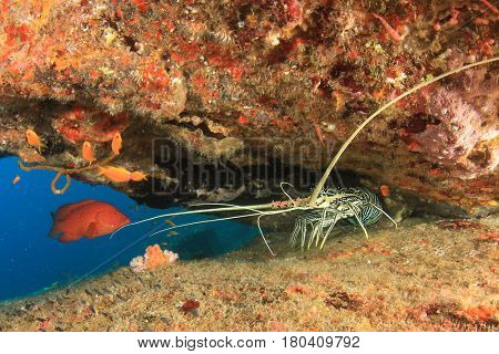 Spiny Lobster crayfish and grouper fish