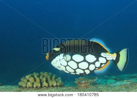 Clown Triggerfish tropical reef fish