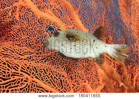 Blackspotted puffer fish pufferfish
