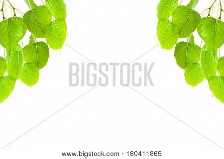 Green leaves frame(Pho leaf bo leafbothi leaf)isolated on white background