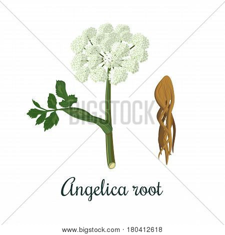 Angelica sinensis, or Angelica archangelica or dong quai, or female ginseng - medicinal herb. Flower and root. vector illustration. for cooking, beverages, cosmetics, health care, perfume