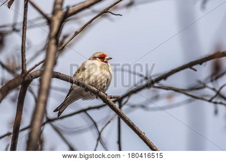 the goldfinch sits on a branch having fluffed up feathers from cold