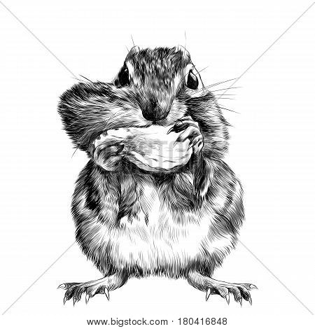 Chipmunk stands and shoves the nut for the cheek a big swollen cheek sketch vector graphics black and white drawing