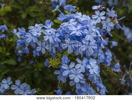 Branch of blossoming plumbago auriculata , beautiful gentle blue flowers poster