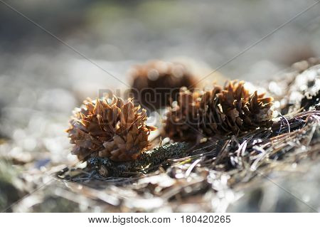 Fir-cone In The Sun Closeup