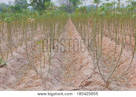 background of cassava plantation in the field Thailand