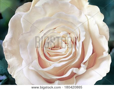 White rose close-up can use as wedding background. Soft blur focus